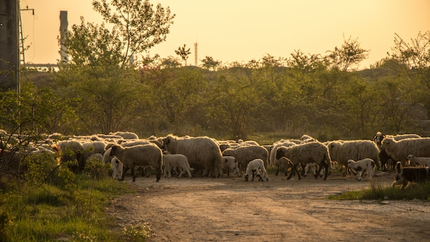 Flock of sheep in