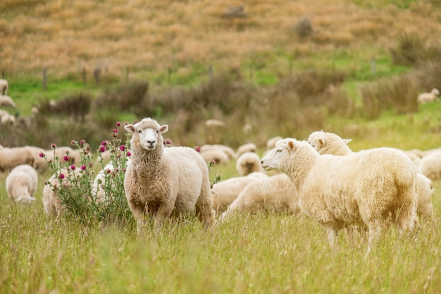 Flock of sheeps grazing in green farm in new zealand with warm sunlight effect i