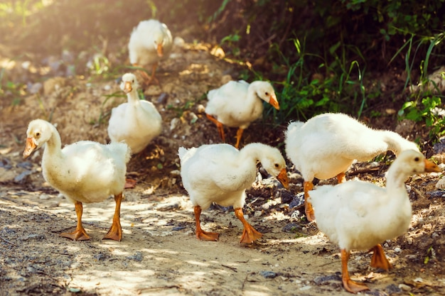 A flock of small geese