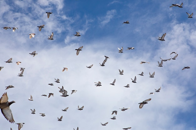 Flock of speed racing pigeon flying against blue sky