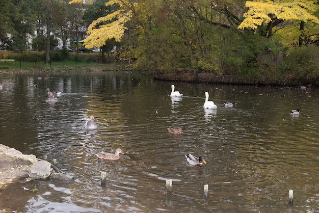 Flock of white and brown geese in green