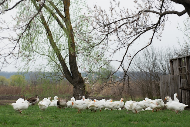 A flock of white geese walk in the spring in the village on the lawn with fresh green grass against