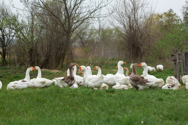 A flock of white geese walk in the spring in the village on the lawn with fresh green grass