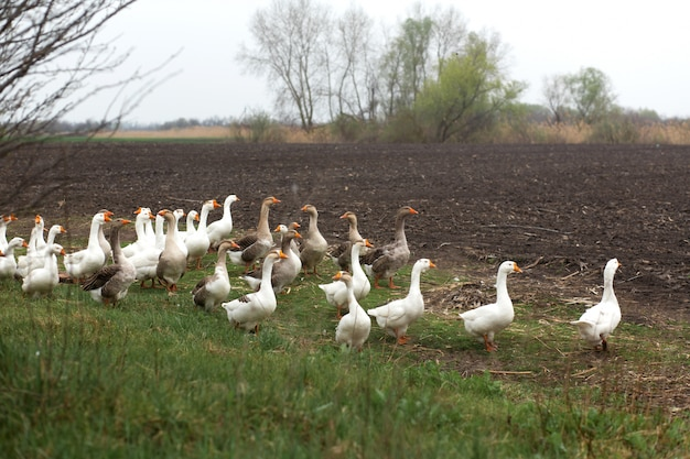 A flock of white geese walk in the spring in the village in the meadow with fresh green grass and plowed land