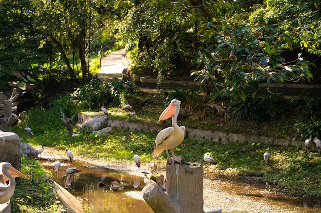 A flock of white pelicans who live in a bird park