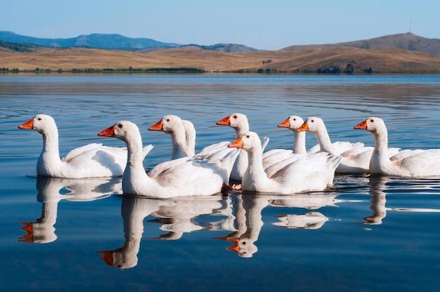 Flock of white swimming geese on blue water