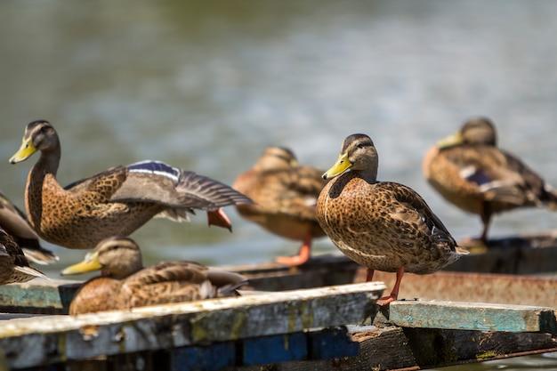 Flock of wild brown ducks sitting resting on old ruined bridge frame on water .