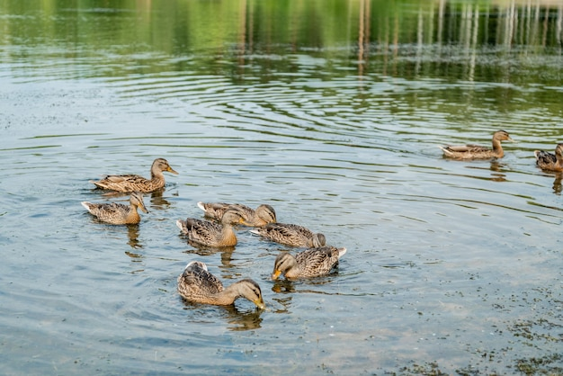 Flock of wild mallard ducks swim on lake