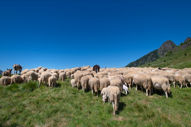 Flockof of sheep at the end of the transhumance towards the mountain