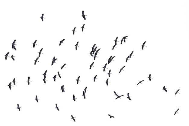 Flocks of flying birds isolated on white. clipping path.