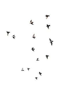 Flocks of flying pigeons isolated on white. clipping path. Premium Photo