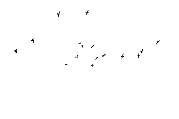 Flocks of flying pigeons isolated
