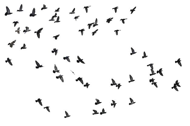 Стая летающих голубей, изолированные на белом фоне. отсечения путь