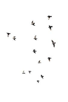 흰색 절연 비행 비둘기의 무리입니다. 클리핑 경로.