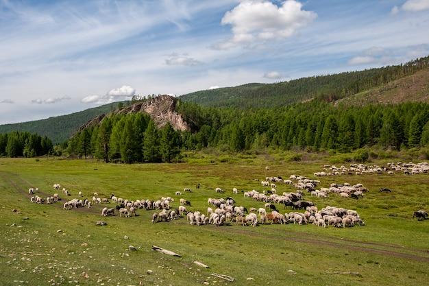 Стаи овец пасутся на зеленом пастбище в долине у холмов. облака на голубом небе.