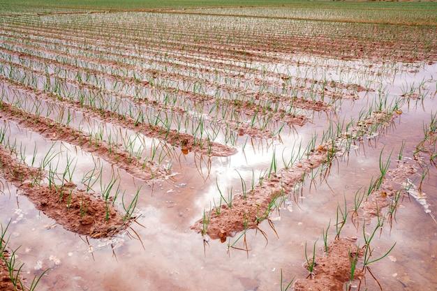 물을 낭비하는 야채 농장의 홍수 관개.