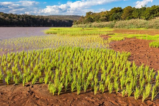 氾濫した緑の田んぼの風景