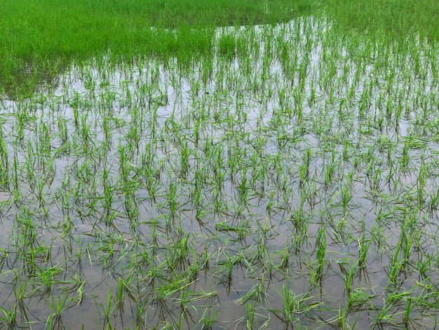Floods inundated rice fields damage to farmers
