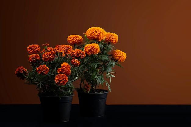 Flor de cempasuchil en macetas para dia de muertos en mexico