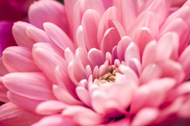 フローラ ブランディングと愛のコンセプト コーラル デイジーの花の花びらが咲く抽象的な花の花アートの背景に、春の自然の香り、香り、結婚式の高級美容ブランド、ホリデー デザイン