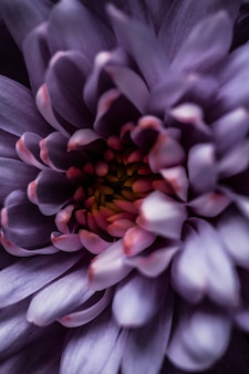 Флора брендинг и концепция любви фиолетовая маргаритка лепестки цветов в цвету абстрактные цветочные цветы искусство фон цветы весной природа для духов аромат свадьба роскошный бренд красоты праздник дизайн