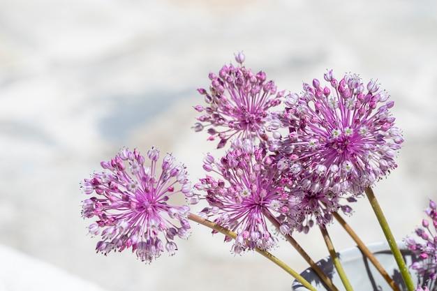 Флора гран-канарии - allium ampeloprasum, дикий лук-порей, изолированные на белом