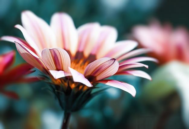 花の背景。ガーベラの花の抽象的なぼやけた画像