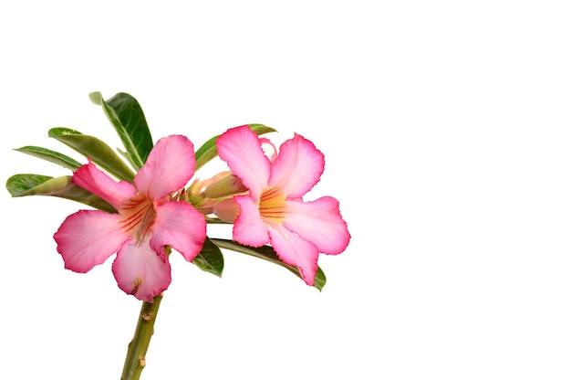 꽃 배경입니다. 열 대 꽃 핑크 adenium의 닫습니다. 사막은 흰색 바탕에 상승했다.