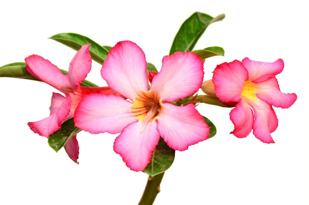Floral background. close up of tropical flower pink adenium. desert rose on white background.