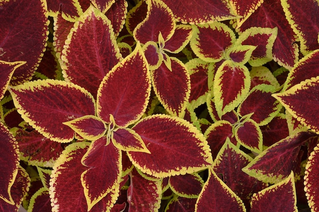 Floral background coleus plants on the flowerbed. high quality photo