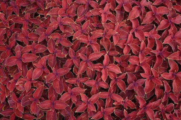 花壇に花の背景コリウス植物。