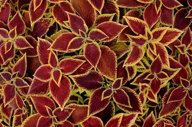 花壇の花の背景コリウス植物
