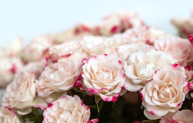 꽃 배경입니다. 분홍색 꽃잎을 가진 밝은 노란색 장미