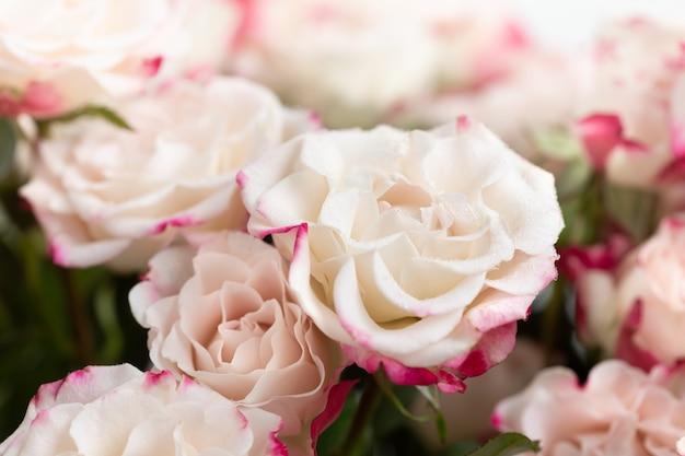 Цветочный фон. светло-желтые розы с розовыми лепестками