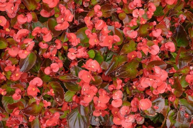 芝生の上の赤いベゴニアの花の背景。