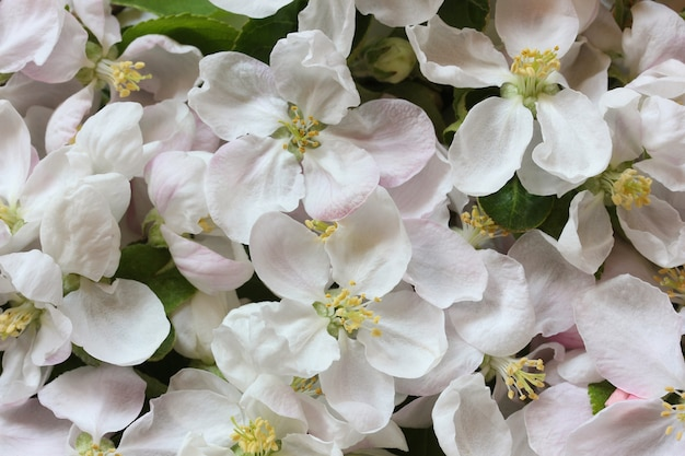 リンゴの木の花と花の背景、上面図。自然な背景として白とピンクの花びらを持つ花序。