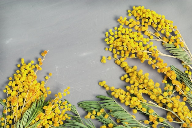 Floral border. twigs of blooming mimosa on gray concrete background with copy space