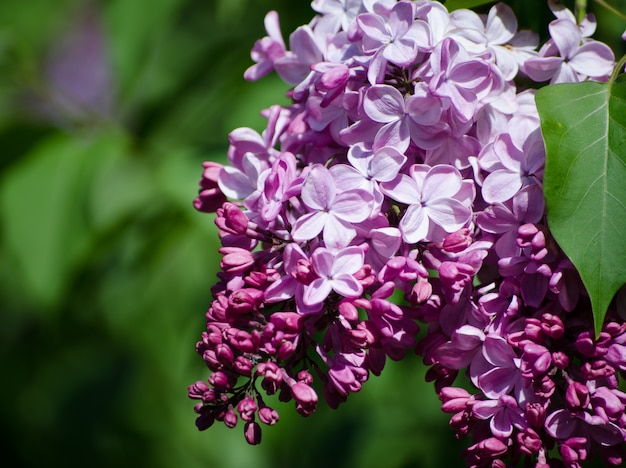 Floral border with beautiful purple lilac blooming in the sunny day.