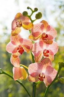 Цветочная концепция. советы по выращиванию орхидей. как ухаживать за орхидеями в помещении. чаще всего выращивают комнатные растения. орхидеи цветут крупным планом. цветок орхидеи розово-желтое цветение. орхидея фаленопсис.