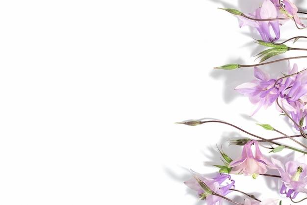テキストや製品の花の繊細な背景、上面図。硬い影の白い背景にピンクのオダマキの花。国境。