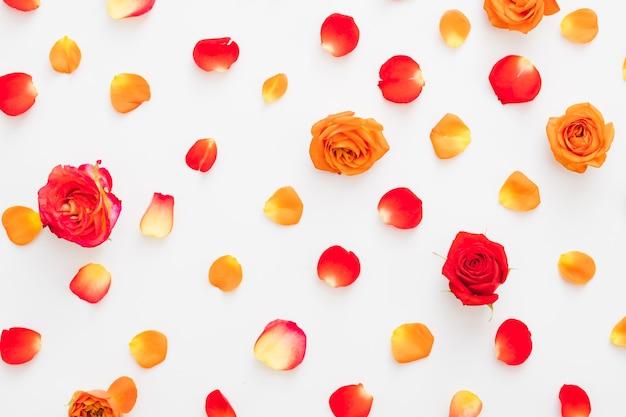 白の上にカラフルな赤とオレンジのバラのつぼみと花びらの花のフラットレイ
