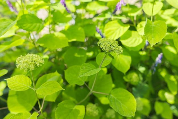 꽃 녹색 배경, 질감, 정원에 수국 꽃 봉오리가 있는 덤불