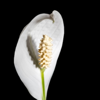 Цветочное фото макроса. крупным планом белый цветок спатифиллум комнатных растений на черном фоне. выборочный фокус. квадратное фото с копией пространства.