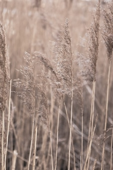 Floral minimal home interior boho style fall composition with dry golden reeds  pampas grass