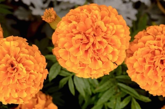公園の花壇にマリーゴールドの花。