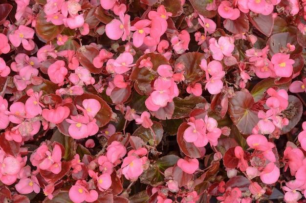 芝生の上のピンクのベゴニアの花。