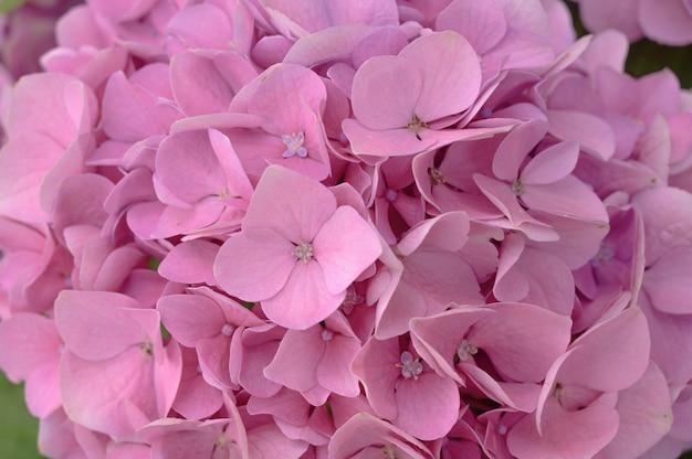 ピンクのアジサイの花の花がクローズアップ。