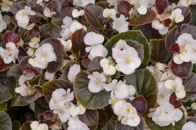 芝生の上の白いベゴニアの花。