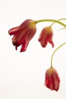 赤いチューリップの花の枯れた花の花束
