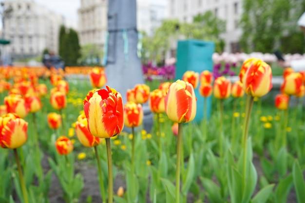 꽃 표면. 꽃 침대에서 노란색 빨간색 피 튤립입니다.